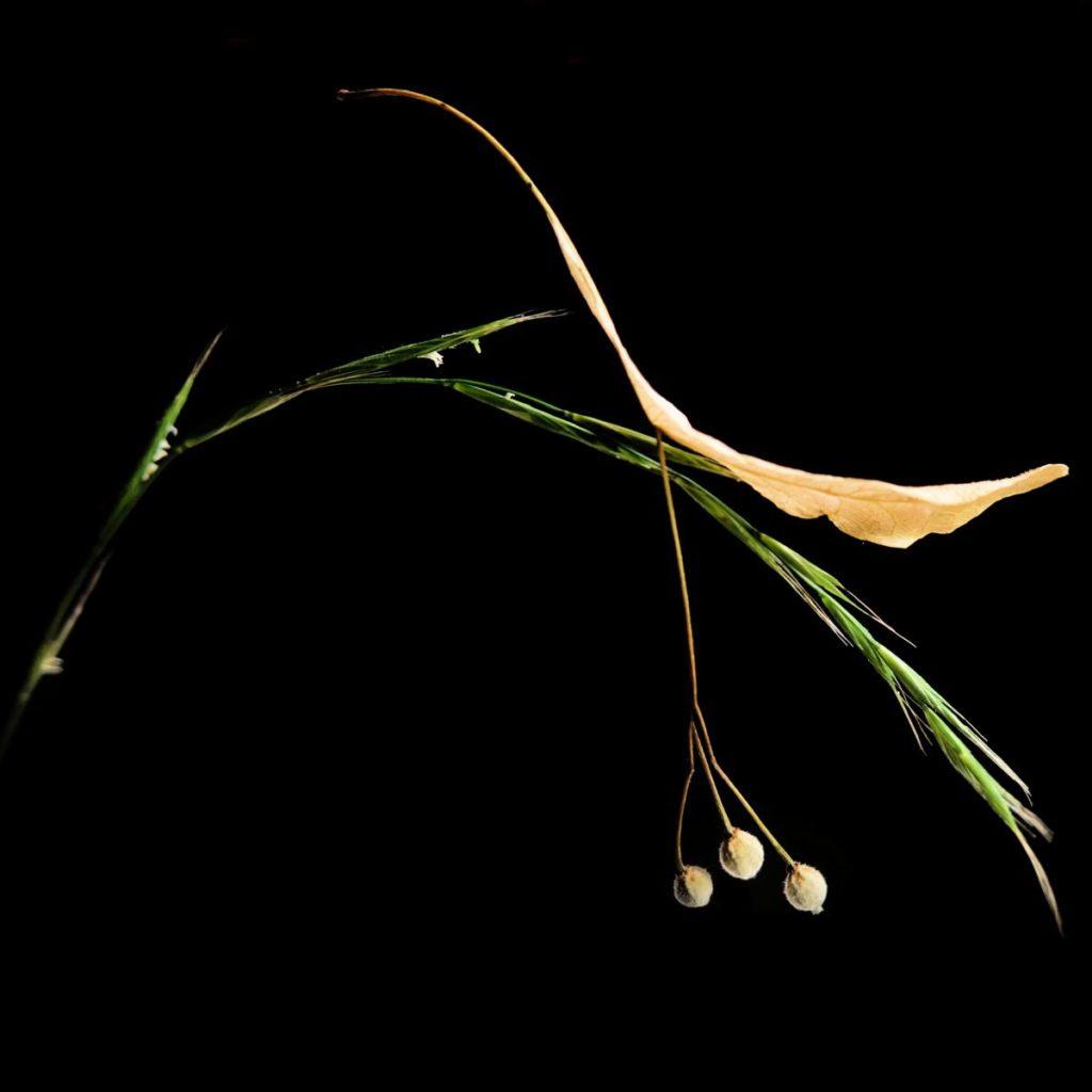 Linden seeds